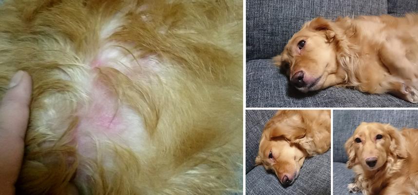 犬の皮膚炎(アトピー、マラセチア)